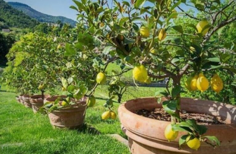 LEMON CULTIVATION IN POT – HOW TO- WHEN